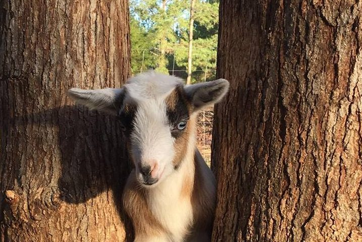 Goat looking thru tree