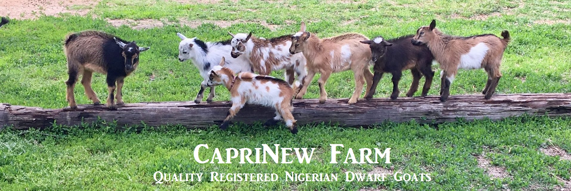 Header pic 3, CapriNew Farm
