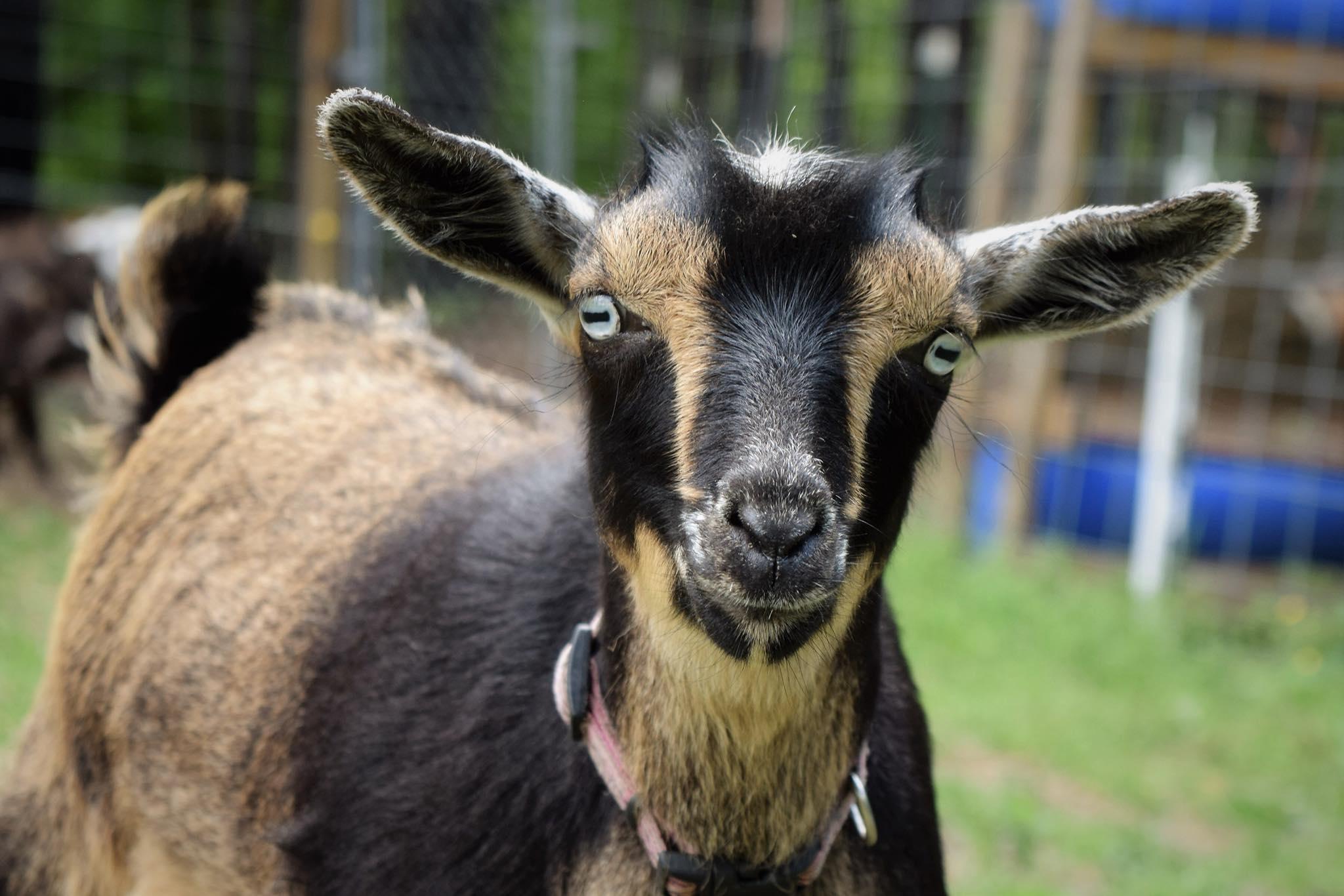 nigerian dwarf femail goat doe caprinew j venus