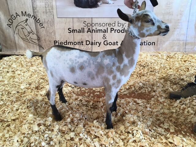 nigerian dwarf goat caprinew jj kewpie doll