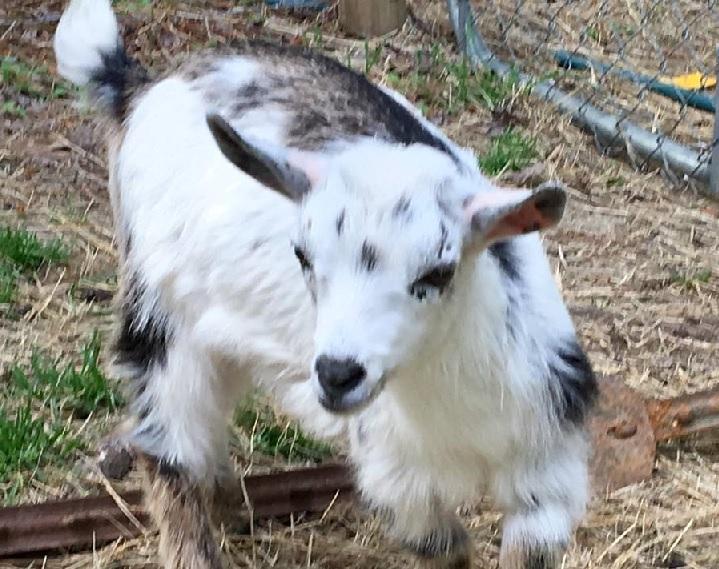 nigerian dwarf goat female doe caprinew j kyria