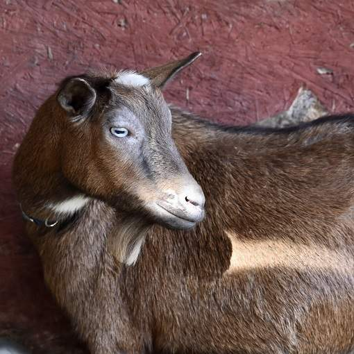 nigerian dwarf goat female senior doe ari eli acres nutmeg