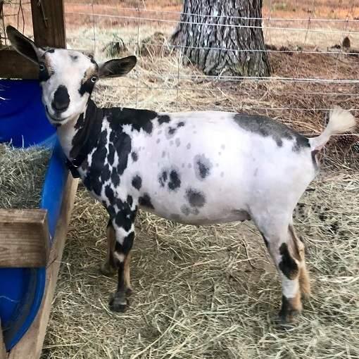 Nigerian dwarf goat senior doe CapriNew I Kandy